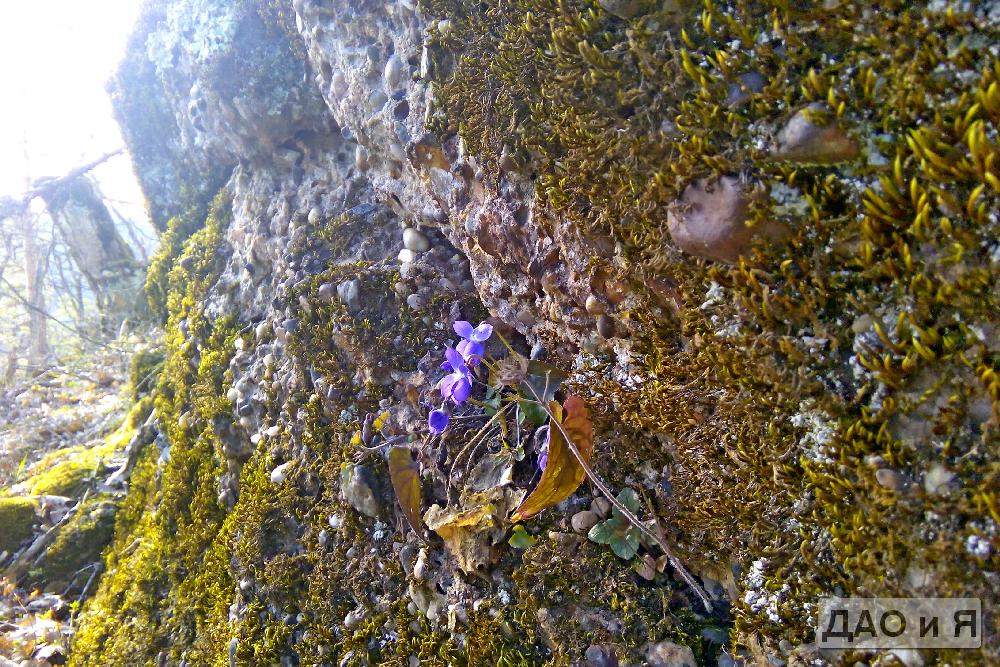 Цикломен на камне