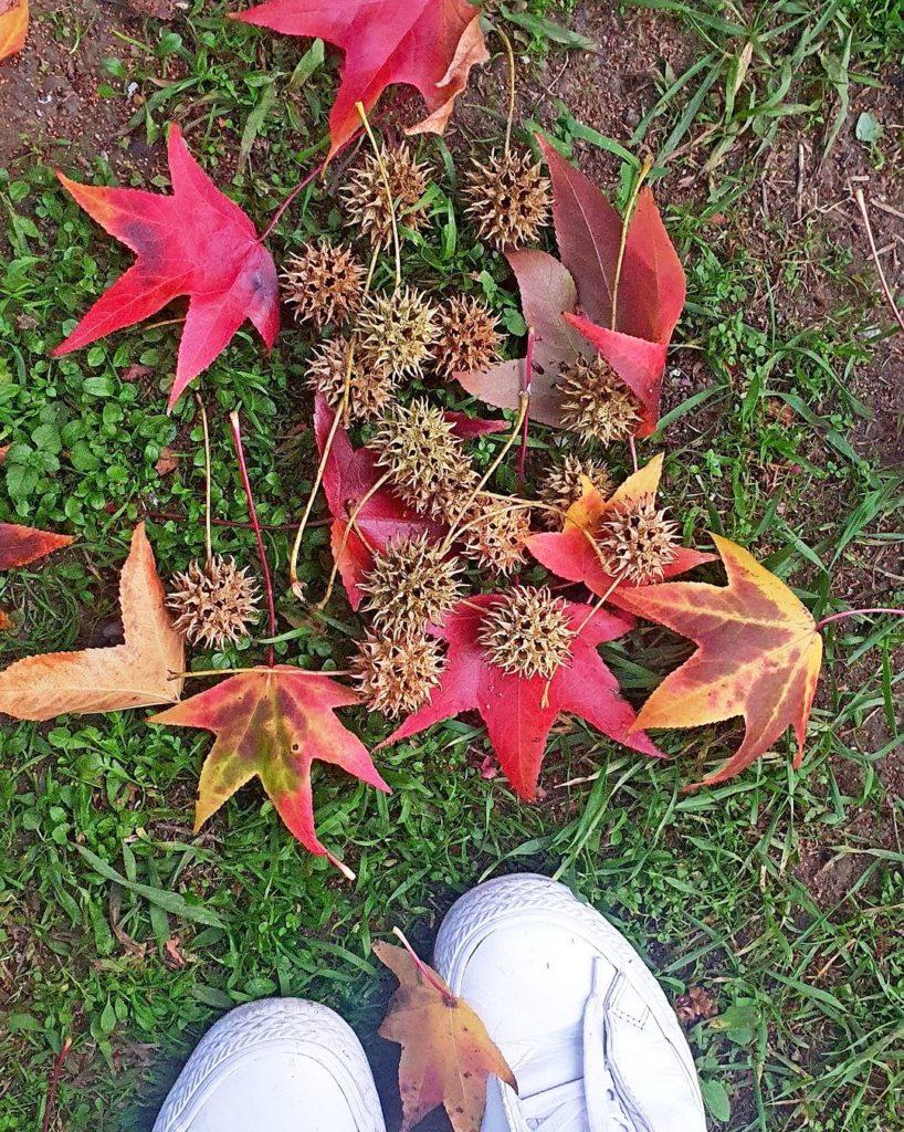 Плоды и листья Ликвидамбара